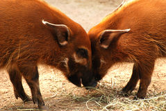 Young red river hogs playing stock image
