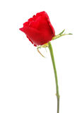 A young red rose Royalty Free Stock Photography