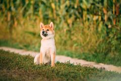 Young Red Shiba Inu Puppy Dog Sitting Outdoor In Road Through Co royalty free stock photo
