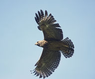 Young Red Shouldered Hawk Stock Images