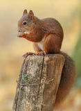 Young red squirrel royalty free stock photo