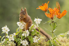Young  red squirrel Royalty Free Stock Photography