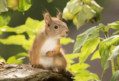 Red squirrel with hand on the breast royalty free stock images