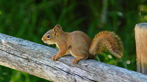 Young Red Squirrel Stock Images