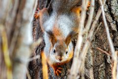 Young red squirrel looking at the camera on a tree trunk. Sciurus vulgaris.  royalty free stock image