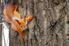 Young red squirrel looking at the camera on a tree trunk. Sciurus vulgaris, copy space.  stock photography