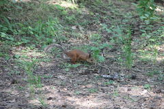 Young red squirrel sitting on ground Stock Image