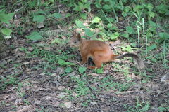 Young red squirrel sitting on ground Stock Photo