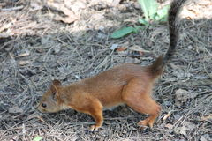 Young red squirrel sitting on ground Stock Photography