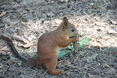 Young red squirrel sitting on the ground and eat grass Royalty Free Stock Photo