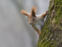 Young Red squirrel sitting on a tree. Royalty Free Stock Photos