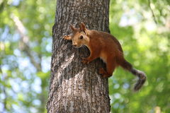 Young red squirrel sitting on tree Stock Photography