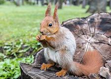Young red squirrel sitting on tree stump in forest and eating nu Stock Images