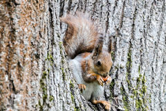 Young red squirrel sitting on tree trunk and eating nut Stock Photography