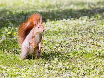 Young red squirrel standing on green grass background Royalty Free Stock Photo