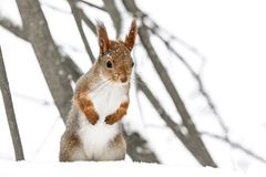 Young red squirrel standing in white snow against blurry tree ba. Young red squirrel standing on white snow in winter park against blurry tree background Stock Images
