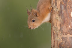 Young red squirrel up side down Stock Images