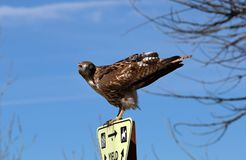 A young Red Tail Hawk royalty free stock photo