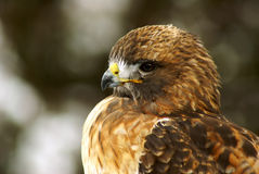 Young Red-Tailed Hawk. A Young Red-Tailed Hawk (Buteo jamaicensis Stock Photography