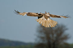 Young Red-Tailed Hawk Diving on its Prey Royalty Free Stock Photo