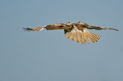 Young Red-Tailed Hawk Diving on its Prey Stock Photo