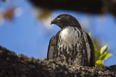 Young Red Tailed Hawk Royalty Free Stock Photo