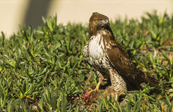 Young Red Tailed Hawk with Prey Royalty Free Stock Image