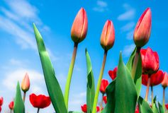 Young red tulips against the  sky Stock Image