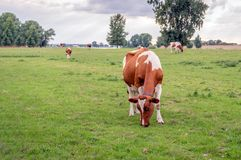 Young red-and-white cow eats fresh green grass. Young red-and-white cow in the foreground eats fresh green grass on the floodplains of a river. The cow has a royalty free stock photo