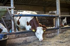 Young red and white cow with horns, heifer, is peeking her head through bars of a fence, montbeliarde cow. royalty free stock image