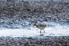 Young Redshank Stock Image