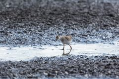Young Redshank Royalty Free Stock Photography