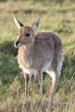 Young Reedbuck Royalty Free Stock Images