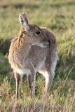 Young Reedbuck Antelope Stock Photos