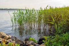 Young reeds growing on the banks of the river Stock Images