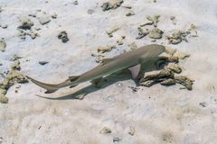 Young reef shark in Indian ocean Royalty Free Stock Photo