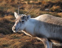 Young Reindeer Stock Photos