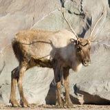 Young reindeer Stock Photos