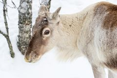 Young reindeer in the forest in winter, Lapland Finland. Young reindeer in the forest in winter, Lapland, Finland stock photos