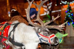 A young reindeer harnessed to a festive harness stands at the New Year`s tree and rolls the children. stock photo