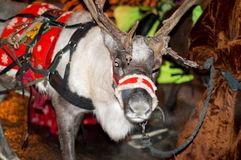 A young reindeer harnessed to a festive harness stands at the New Year`s tree and rolls the children. stock photography