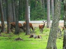 Young reindeer. A herd of young deer graze in the park, the zoo Stock Image