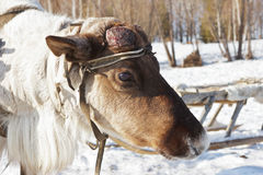 Young reindeer male with the disappeared horns Royalty Free Stock Photography