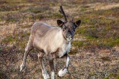 A young reindeer on a meadow Stock Photo