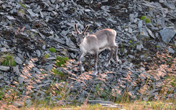 Young reindeer running Royalty Free Stock Photos