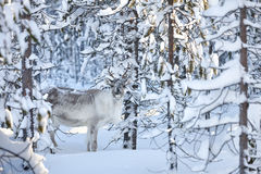 Young reindeer in snowy forest royalty free stock photo