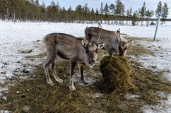 Young reindeers eating Stock Images