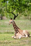 Young Reticulated Giraffe Royalty Free Stock Images