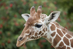 A young Reticulated Giraffe head Stock Images