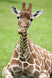 Young Reticulated Giraffe Stock Photography